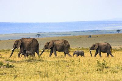 Olifant in Zuid-Afrika